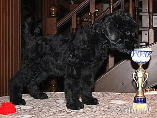 Продается щенок Русского черного терьера!